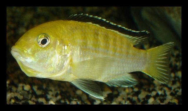 malawi 200L Labidochromis_caeruleus_F_INC_01b